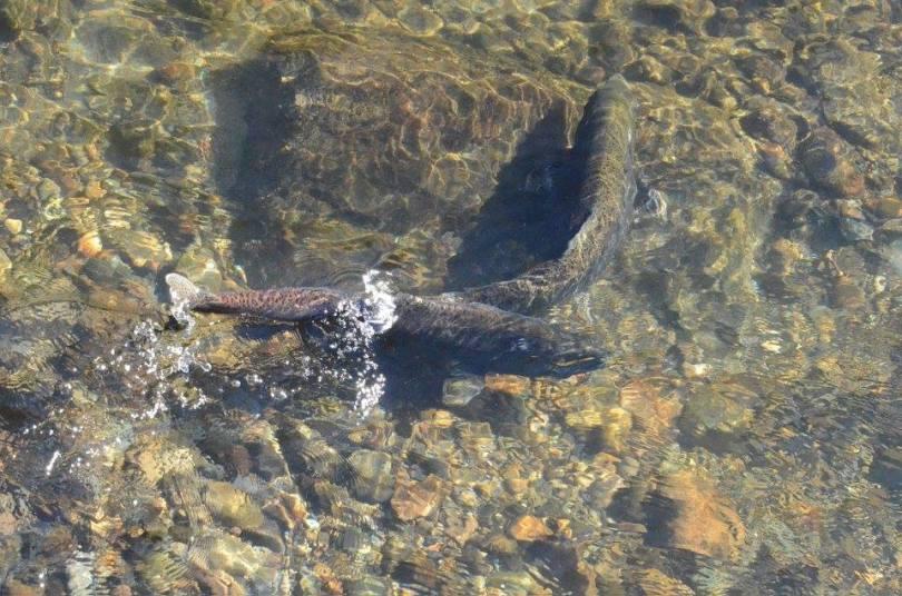 salmon-sep13-2