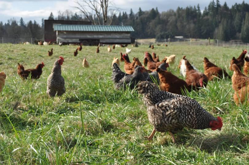 cascadia coop chickens.jpg